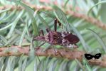 Western conifer seed bug by coldstares