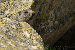 Marmot by Dark-Raptor