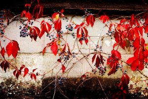berry_vines by RobertMichael