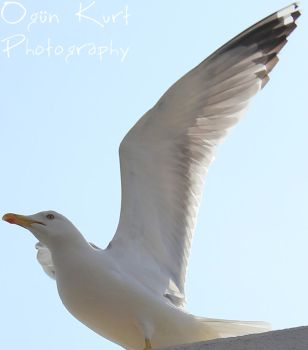 Seagull v1.3 by wolfanger17