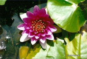 Japanese Pond Flower by Blitzy-Arts