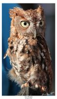 Screech Owl by entropicuniverse