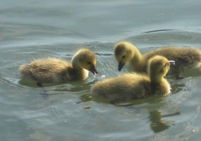 Stock - Ducklings II by rockgem