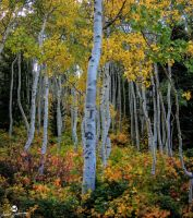 White Aspens and Colors by mjohanson