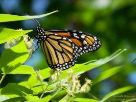 Monarch Butterfly by FeverentReverie