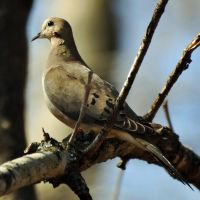 Mourning dove by masscreation