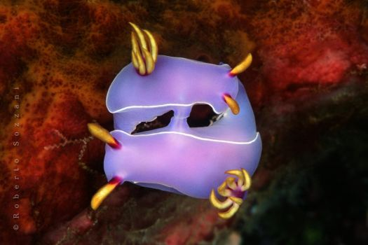 Mating Nudibranchs by LazyDugong