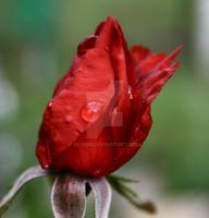 Teardrop of a rose by Alonir