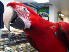 Excited Greenwing Macaw by koshplappit