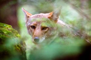 Eyes of the Coyote by Locopelli