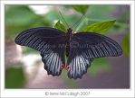 Butterfly - Red Wing Spots by substar