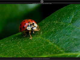 Ladybird by stockkj