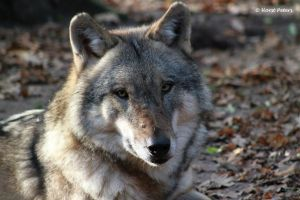 European Gray Wolf  /  Europaeischer Grauwolf by bluesgrass