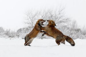Fighting Foxes in the Snow by thrumyeye
