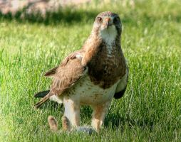 Swainson's Hawk by jpapasso