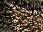Hedgehog texture 1 - alert by alphasoupstock