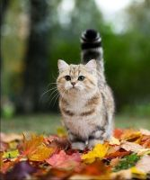 Atumn Cat ^.^ by ShoftWhiskers