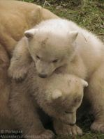 Polar Bear Cubs playing by Mouselemur