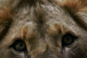 Curious lion by tetep