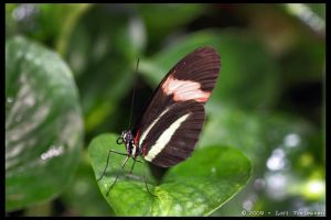 Small Postman Butterfly 1 by Vamppy