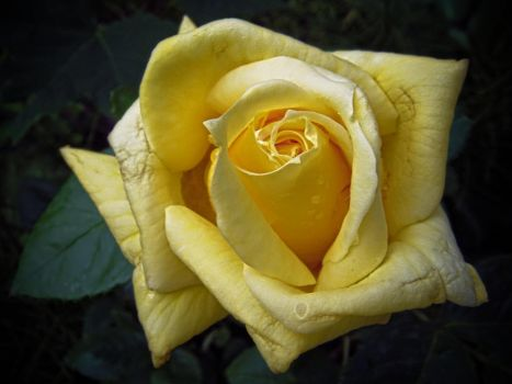 Yellow Rose (3) by Paul774