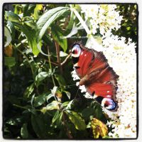Peacock Butterfly | Inachis io by OMG-ImSoAwesome