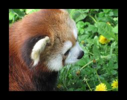 Red Panda by little-gold-fish