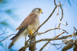Common Kestrel by rat-or-rat