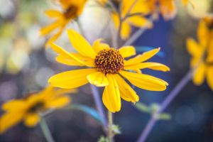 Swamp Sunflower 2 by trinity343