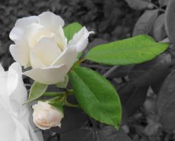White Rose by ShipperTrish