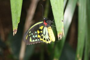 Yellow and Black Butterfly II by AstronSoul