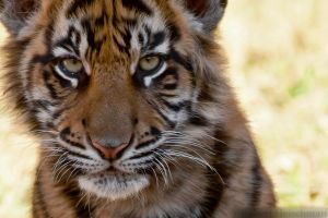 Tiger Cub Portrait (tight crop) by robbobert