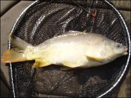 May 10th - Linear Mirror Carp by parry