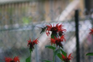 Ruby Throated Hummingbird by ringette-and-riding