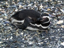 Magellanic penguin 3 by Cansounofargentina