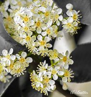 Blossom's Australis by Bluebuterfly72