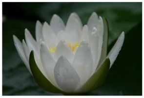 White Water Lilly by Jorgemme