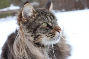 Maine coon by RoseMarie93