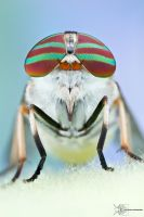 Striped Horsefly - Tabanus lineola by ColinHuttonPhoto