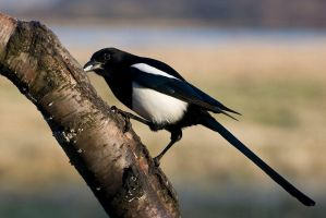 Magpie 1 by fremlin