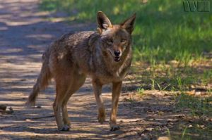 Coyote3 by WesHPhotography