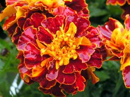 Marygolds Red and Yellow by JocelyneR