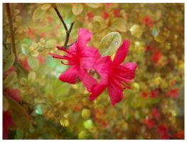 There is some red in my garden by OSakuraNoHanaO