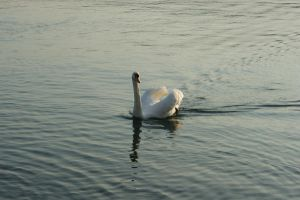 Swan 2 by Stichflamme-Stock
