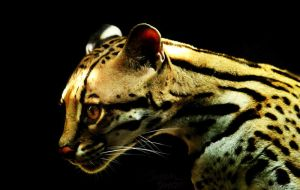 Ocelot in Darkness by NaturePunk