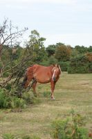 New Forest Pony by neverFading-stock