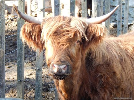 Highland Bull by ChrisMasna