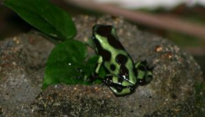 Green Poison Arrow Frog by Tigermano
