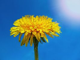 sow-thistle by Didix1122