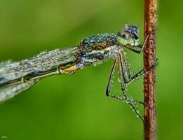 Dragonfly in dew by miirex